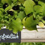 BIO Kopfsalat Pflanzerl