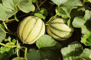 BIO Melonen aus OÖ