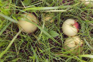 BIO Apfel im Gras