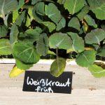 BIO Weißkraut Pflanzerl